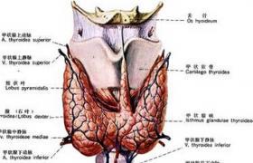 抗甲状腺抗体