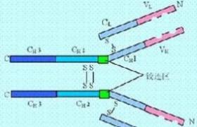 血清免疫球蛋白A(IgA)