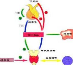 甲状腺素(T4)